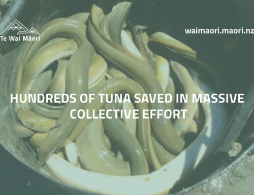 Hundreds of tuna saved in massive collective effort